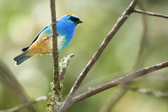 Χρυσός-tanager, τροπικό πουλί στο Περού στοκ εικόνες με δικαίωμα ελεύθερης χρήσης