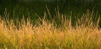 Χρυσό άγριο υπόβαθρο χλόης Στοκ Φωτογραφίες