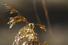 Χρυσό άνθισμα στο ηλιοβασίλεμα Στοκ Εικόνες