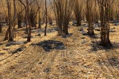 Χρυσό δάσος μπαμπού στοκ εικόνες