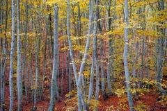 Χρυσό δάσος οξιών στοκ εικόνα με δικαίωμα ελεύθερης χρήσης