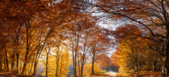 Χρυσό δάσος οξιών στοκ φωτογραφία με δικαίωμα ελεύθερης χρήσης