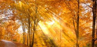 Χρυσό δάσος οξιών στοκ εικόνα