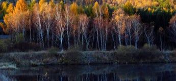 Χρυσό δάσος σημύδων Στοκ Εικόνα