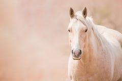 Χρυσό άλογο Palomino Στοκ Φωτογραφίες