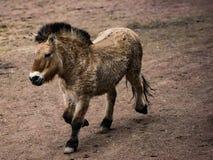 Χρυσό άλογο Przewalskis στοκ εικόνα με δικαίωμα ελεύθερης χρήσης