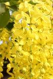 Χρυσό δέντρο ντους Στοκ Εικόνα