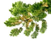 Χρυσό δέντρο ντους (Cassia συρίγγιο) Στοκ Εικόνα