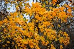 Χρυσό δέντρο σφενδάμνου το φθινόπωρο Στοκ Εικόνα