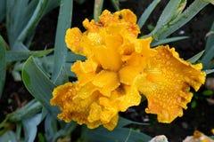Χρυσό γενειοφόρο λουλούδι της Iris Στοκ φωτογραφία με δικαίωμα ελεύθερης χρήσης