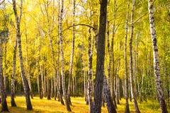 Χρυσό δάσος φθινοπώρου Στοκ Φωτογραφίες
