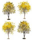 χρυσό δέντρο, κίτρινο δέντρο λουλουδιών, tabebuia που απομονώνεται στο λευκό Στοκ Εικόνες