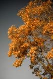 Χρυσό δέντρο φθινοπώρου στην γκρίζα ανασκόπηση Στοκ φωτογραφίες με δικαίωμα ελεύθερης χρήσης