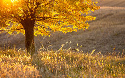 Χρυσό δέντρο χρώματος φθινοπώρου Στοκ Φωτογραφία