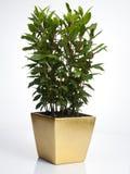 χρυσό δοχείο φυτών δαφνών Στοκ Φωτογραφίες