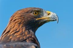 Χρυσό επικεφαλής σχεδιάγραμμα αετών στοκ εικόνα