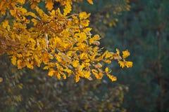 Χρυσό επισημασμένο δρύινο φύλλο Στοκ Εικόνα