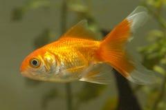 χρυσό λευκό απομόνωσης ψαριών στοκ φωτογραφία με δικαίωμα ελεύθερης χρήσης
