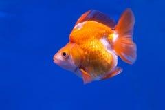 χρυσό λευκό απομόνωσης ψαριών Στοκ εικόνες με δικαίωμα ελεύθερης χρήσης