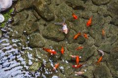 χρυσό λευκό απομόνωσης ψαριών Στοκ Φωτογραφίες