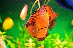 χρυσό λευκό απομόνωσης ψαριών στοκ εικόνες