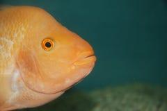 χρυσό λευκό απομόνωσης ψαριών Στοκ Φωτογραφία