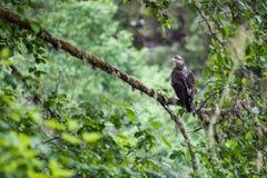 Χρυσό θηλυκό αετών στοκ εικόνα με δικαίωμα ελεύθερης χρήσης
