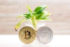 Χρυσό και ασημένιο νόμισμα bitcoin που τοποθετείται κάτω από το μικρό δέντρο μπανανών στο γυαλί Σύμβολο των cryptocurrencies Στοκ Εικόνες