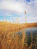χρυσό καλοκαίρι πεδίων ημέρας ηλιόλουστο στοκ φωτογραφία με δικαίωμα ελεύθερης χρήσης