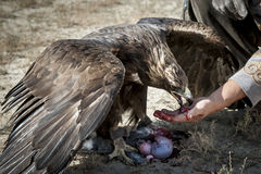 Χρυσό κυνήγι αετών Στοκ Εικόνες