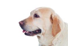 Χρυσό Λαμπραντόρ σκυλί της Νίκαιας Στοκ Εικόνες