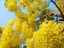 χρυσό ντους λουλουδιώ Στοκ φωτογραφίες με δικαίωμα ελεύθερης χρήσης