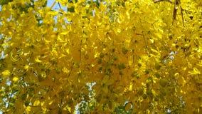 χρυσό ντους λουλουδιώ Στοκ Εικόνες