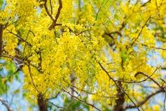 Χρυσό ντους στον κήπο Στοκ Εικόνα
