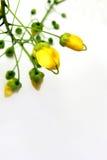 χρυσό ντους Στοκ Εικόνες