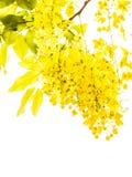 Χρυσό λουλούδι ντους στοκ φωτογραφίες με δικαίωμα ελεύθερης χρήσης