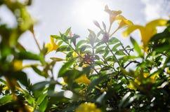 Χρυσό λουλούδι σαλπίγγων ή cathartica Allamanda Στοκ φωτογραφία με δικαίωμα ελεύθερης χρήσης