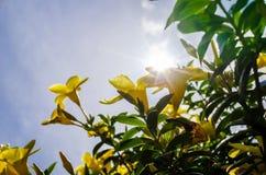 Χρυσό λουλούδι σαλπίγγων ή cathartica Allamanda Στοκ Φωτογραφία