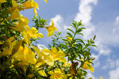 Χρυσό λουλούδι σαλπίγγων ή cathartica Allamanda Στοκ Εικόνες