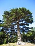 χρυσό παλαιό δέντρο πάρκων π&up Στοκ Εικόνες