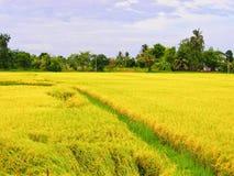Χρυσό πεδίο ρυζιού Στοκ εικόνα με δικαίωμα ελεύθερης χρήσης
