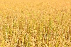 Χρυσό πεδίο ρυζιού στοκ φωτογραφίες