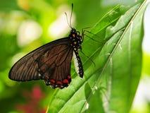 χρυσό πλαίσιο πεταλούδων swallowtail Στοκ Εικόνα