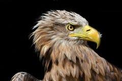χρυσό πορτρέτο αετών Στοκ εικόνες με δικαίωμα ελεύθερης χρήσης