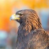 χρυσό πορτρέτο αετών Στοκ Φωτογραφίες