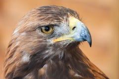χρυσό πορτρέτο αετών Στοκ φωτογραφία με δικαίωμα ελεύθερης χρήσης