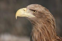 χρυσό πορτρέτο αετών Στοκ Εικόνες