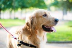 Χρυσό πορτρέτο σκυλιών Στοκ Φωτογραφίες