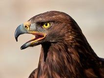 Χρυσό πορτρέτο chrysaetos Aquila αετών Στοκ Φωτογραφία