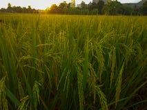 χρυσό ρύζι στοκ φωτογραφία
